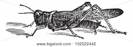 Rocky Mountain Locust or Melanoplus spretus, vintage engraving. Old engraved illustration of Rocky Mountain Locust. Trousset encyclopedia (1886 - 1891).