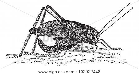 Oblong-Winged katydid or Amblycorypha oblongifolia or Long-horned grasshopper, vintage engraving. Old engraved illustration of Oblong-Winged katydid. Trousset encyclopedia (1886 - 1891).