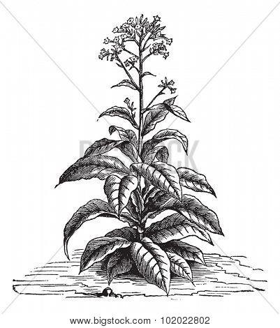 Tobacco (Nicotiana tabacum), vintage engraved illustration. Trousset encyclopedia (1886 - 1891).