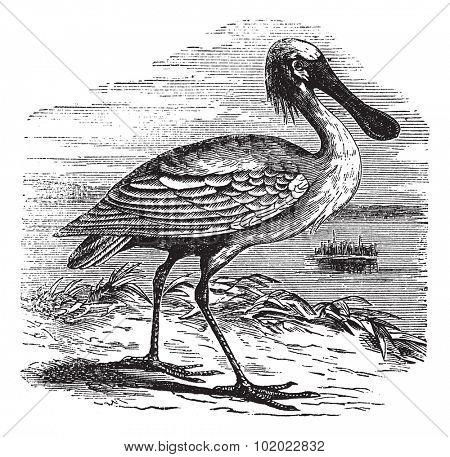 Eurasian Spoonbill or Platalea leucorodia or Common Spoonbill, vintage engraving. Old engraved illustration of Eurasian Spoonbill. Trousset encyclopedia (1886 - 1891).