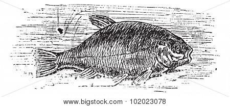 Common tench (Cyprinus tinca), vintage engraved illustration. Trousset encyclopedia (1886 - 1891).
