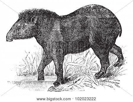 American tapir (Tapirus Americanus), vintage engraved illustration. American tapir at zoo. Trousset encyclopedia (1886 - 1891).