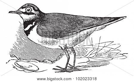 Ringed Plover or Charadrius hiaticula, vintage engraved illustration. Trousset encyclopedia (1886 - 1891).