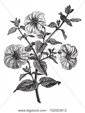 Petunia or Petunia sp., vintage engraved illustration. Trousset encyclopedia (1886 - 1891).