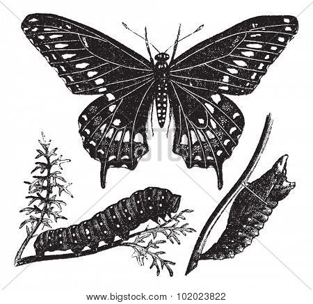Black Swallowtail Butterfly or Papilio polyxenes, vintage engraved illustration. Trousset encyclopedia (1886 - 1891).