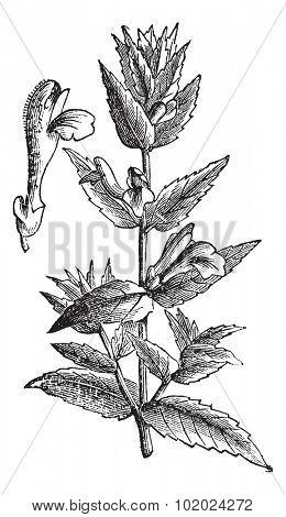 Common Skullcap or Scutellaria galericulata or Marsh Skullcap or Hooded Skullcap, vintage engraving. Isolated on white. Trousset encyclopedia (1886 - 1891).