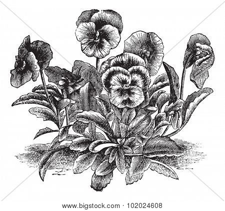 Heartsease or Viola tricolor or Johnny Jump Up or Wild Pansy, vintage engraving. Old engraved illustration of Heartsease. Trousset encyclopedia (1886 - 1891).