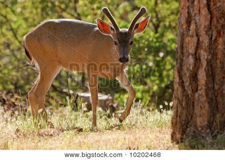 Backlit Mule Deer