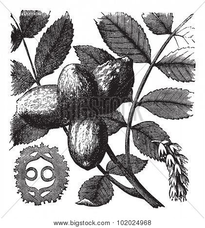 Walnut or Juglans sp., showing flowers (right) and nuts (left and center), vintage engraved illustration. Trousset encyclopedia (1886 - 1891).