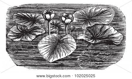 Yellow Water-lily or Nuphar lutea, vintage engraved illustration. Trousset encyclopedia (1886 - 1891).