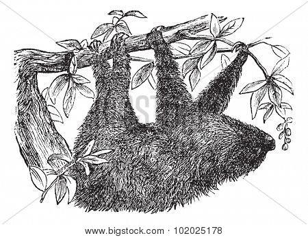 Two-toed Sloth or Choloepus didactylus, vintage engraved illustration. Trousset encyclopedia (1886 - 1891).