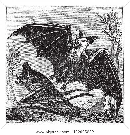 Spectral Bat or Vampyrum spectrum, vintage engraved illustration. Trousset encyclopedia (1886 - 1891).