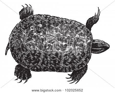 Red-bellied turtle (ptychemys rugosa), vintage engraved illustration. Red-Bellied turtle isolated on white background. Trousset encyclopedia (1886 - 1891).