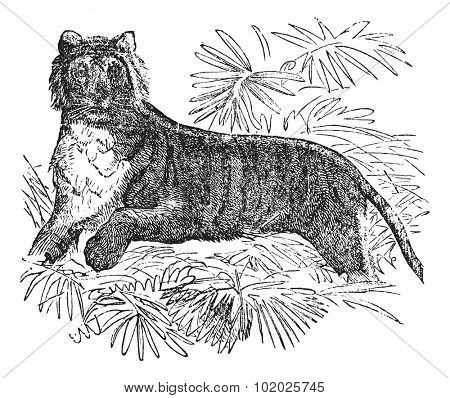 Tiger (Felis tigris) or Panthera tigris, vintage engraved illustration. Felis tigris. Trousset encyclopedia (1886 - 1891).