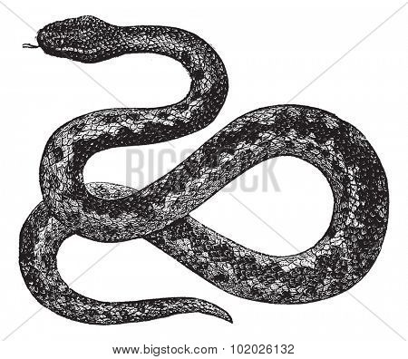 European Viper or Vipera berus, vintage engraved illustration. Trousset encyclopedia (1886 - 1891).