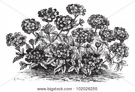 Verbena or Vervain or Verbena sp., vintage engraved illustration. Trousset encyclopedia (1886 - 1891).