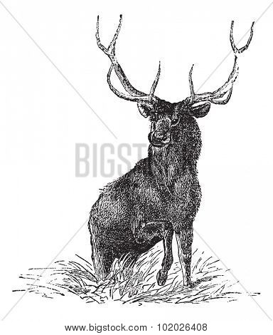 Elk or Wapiti or Cervus canadensis, vintage engraved illustration. Trousset encyclopedia (1886 - 1891).