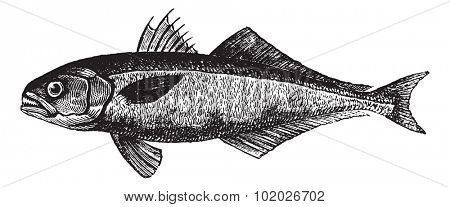 The bluefish (Pomatomus saltatrix) or tailor, vintage engraved illustration. Trousset encyclopedia (1886 - 1891).
