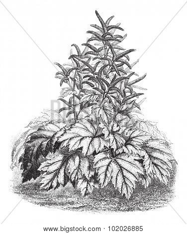 Tibet Rhubarb (Rheum officinale), vintage engraved illustration. Magasin Pittoresque 1874.