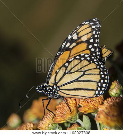 Monarch on Mums