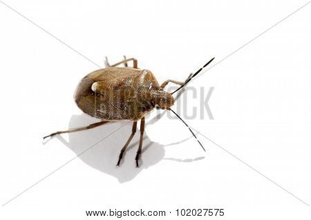 Macro bug isolated Picromerus bidens