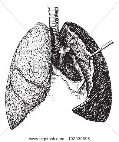 Old engraved illustration of human lungs isolated on a white background. Dictionary of words and things - Larive and Fleury - 1895