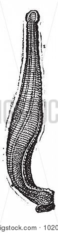 Medicinal leech, vintage engraved illustration. Dictionary of words and things - Larive and Fleury - 1895.