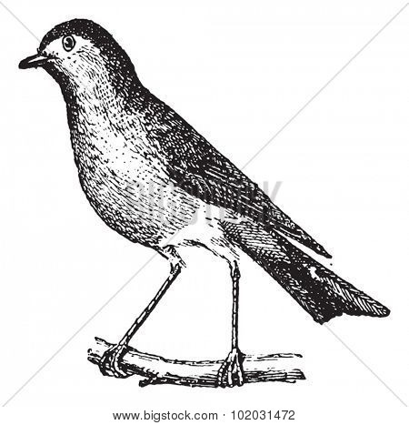 Robin perched on branch, vintage engraved illustration. Dictionary of words and things - Larive and Fleury - 1895.