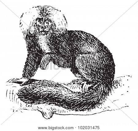 Sakis or Saki monkey, vintage engraved illustration. Dictionary of words and things - Larive and Fleury - 1895.