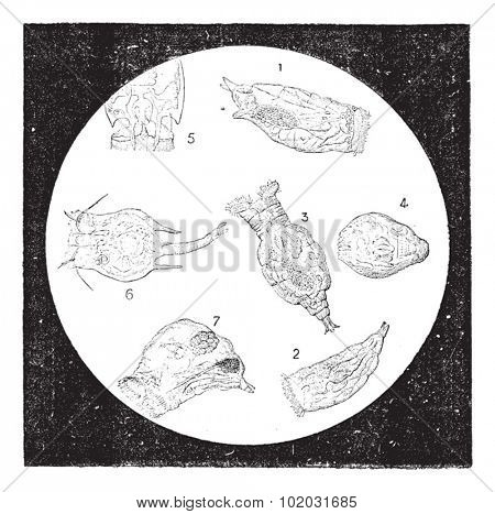Rotifers or Rotifera or Wheel animal, vintage engraved illustration. Dictionary of words and things - Larive and Fleury - 1895.