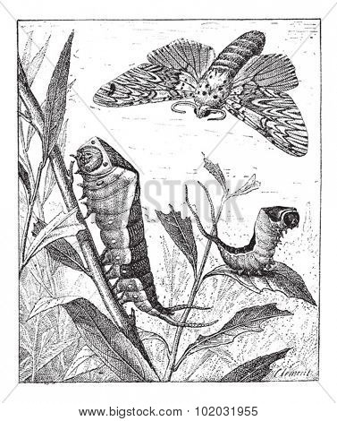 Old engraved illustration of Forked tail or Vinule or Great harpy or Cerura vinula in the meadow. Dictionary of words and things - Larive and Fleury - 1895