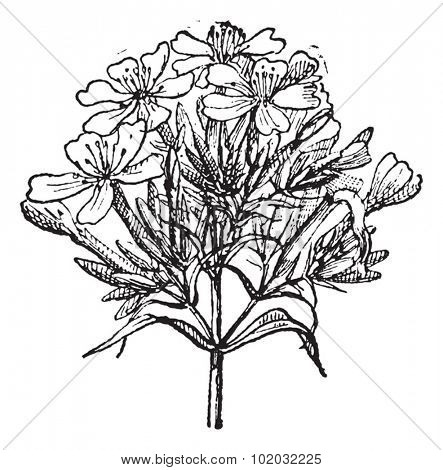 Engraved illustration of Common Soapwort, Saponaria officinalis, Bouncing Bet or Sweet William or Soapwort, isolated on a white background. Dictionary of words and things - Larive and Fleury - 1895