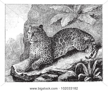 Jaguar, vintage engraved illustration. Dictionary of words and things - Larive and Fleury - 1895.
