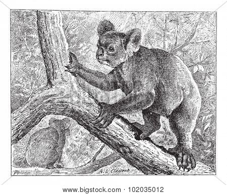 Koala,  vintage engraved illustration. Dictionary of words and things - Larive and Fleury - 1895.