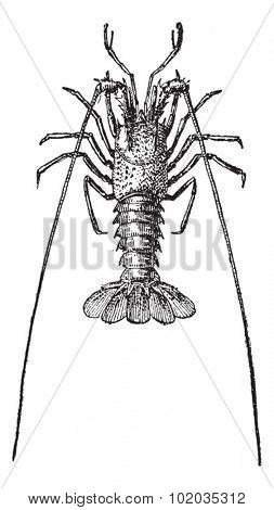 Crayfish or crawfish or crawdads, vintage engraved illustration. Dictionary of words and things - Larive and Fleury - 1895.