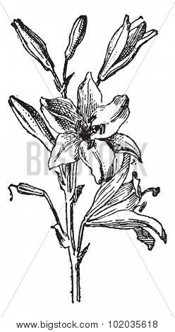 Lily or Lilium sp., vintage engraved illustration. Dictionary of Words and Things - Larive and Fleury - 1895