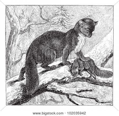 European Pine Marten or Martes martes, preying on a Squirrel, vintage engraved illustration. Dictionary of Words and Things - Larive and Fleury - 1895