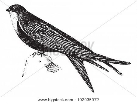 Swifts or Apodidae, Perched on a Rock, vintage engraved illustration. Dictionary of Words and Things - Larive and Fleury - 1895