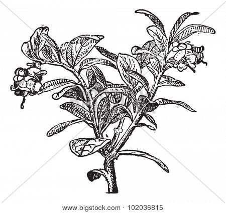 Vaccinium vitis-idaea or lingonberry or cowberry, vintage engraved illustration. Dictionary of words and things - Larive and Fleury - 1895.