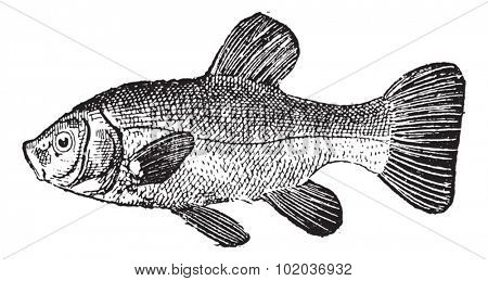 Old engraved illustration of Tench or Tinca tinca or doctor fish or carp, isolated on a white background. Dictionary of words and things - Larive and Fleury - 1895
