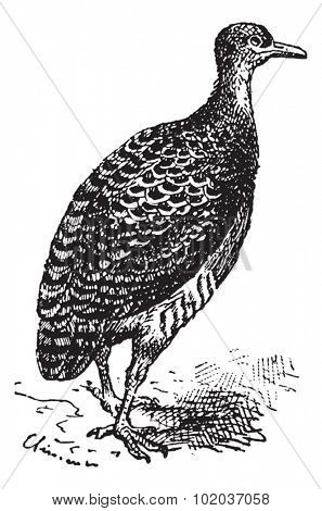 Tinamou or Rhynchotus sp., vintage engraved illustration. Dictionary of Words and Things - Larive and Fleury - 1895