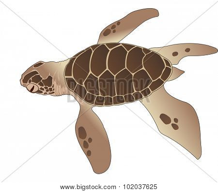 Sea Turtle, Brown, vector illustration