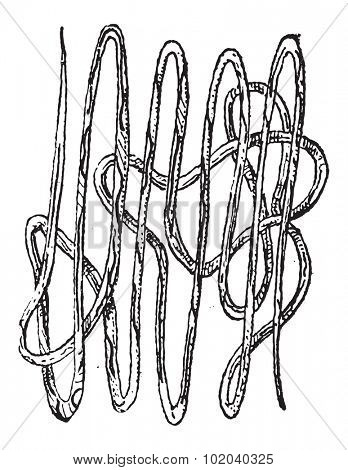 Roundworm, Nematode or Nematoda, vintage engraved illustration. Dictionary of Words and Things - Larive and Fleury - 1895