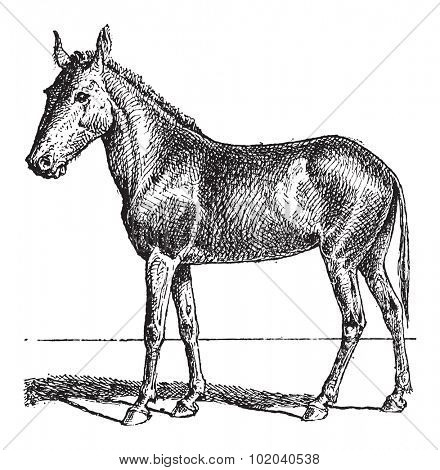 Mule or Equus mulus, vintage engraved illustration. Dictionary of Words and Things - Larive and Fleury - 1895