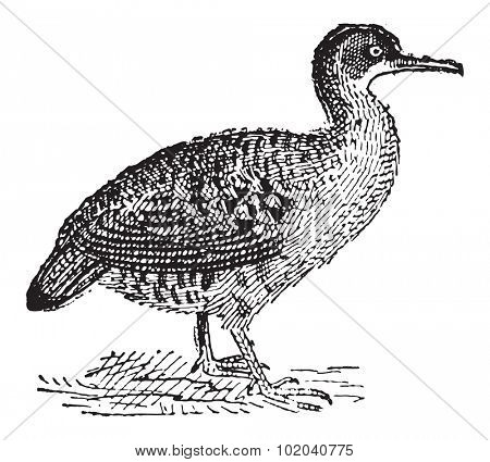 Great Tinamou or Tinamus major, vintage engraved illustration. Dictionary of Words and Things - Larive and Fleury - 1895