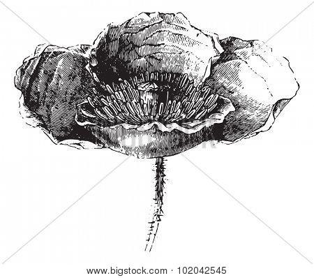 Somnifere poppy (flower) or Opium poppy or Papaver somniferum, vintage engraved illustration. Usual Medicine Dictionary - Paul Labarthe - 1885.