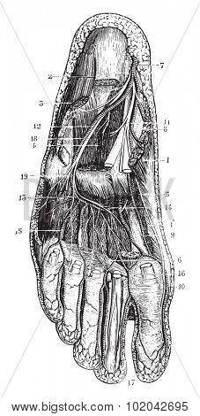 Deep plantar region, vintage engraved illustration. Usual Medicine Dictionary - Paul Labarthe - 1885.