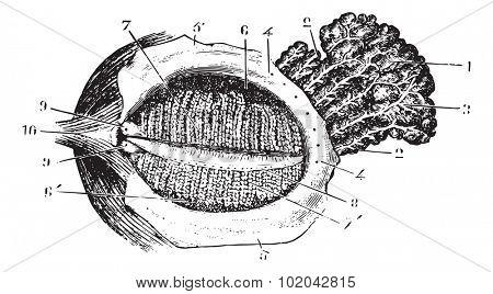 Faced with deep eyelid lacrimal gland, vintage engraved illustration. Usual Medicine Dictionary - Paul Labarthe - 1885.