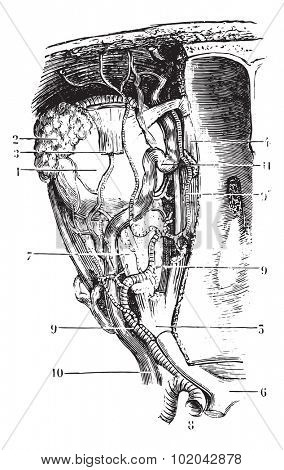 Vessels and nerves of the orbit, vintage engraved illustration. Usual Medicine Dictionary - Paul Labarthe - 1885.