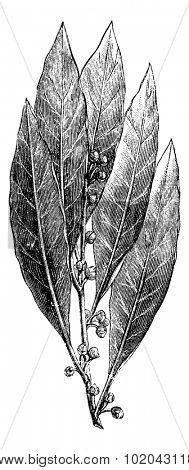 Bay Laurel or Laurus nobilis, showing leaves and flower buds, vintage engraved illustration. Usual Medicine Dictionary by Dr Labarthe - 1885